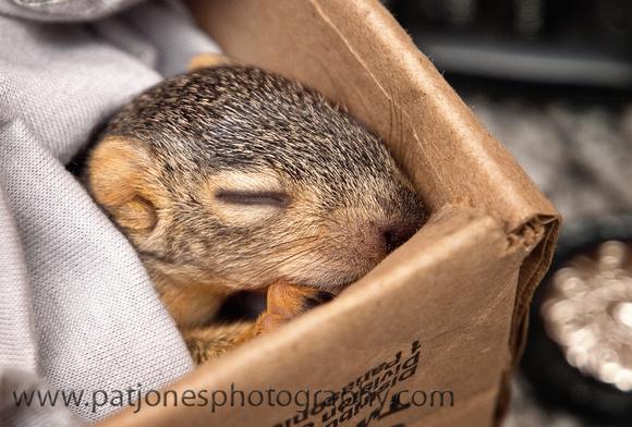 Pixel Jones Baby Fox squirrel Waco TX